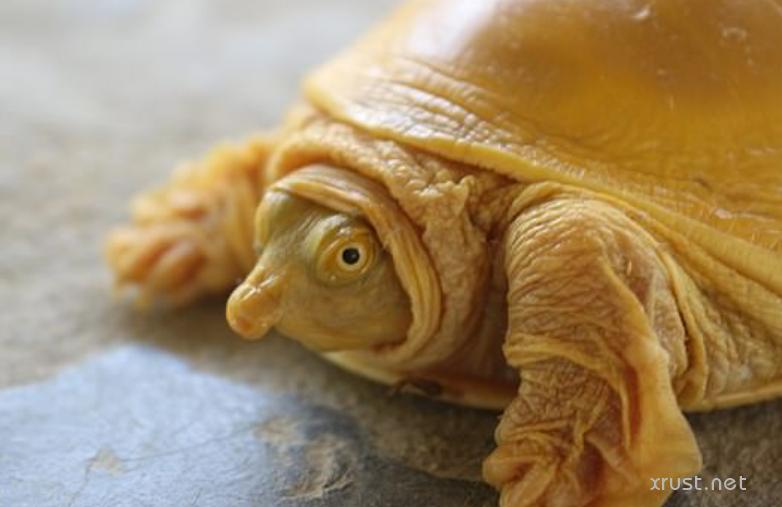 Золотая черепаха обнаружена  в Непале